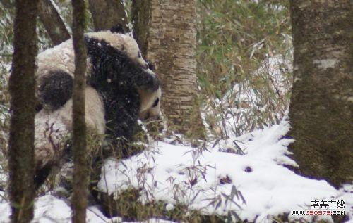 陕西拍到野生大熊猫背幼崽雪中行走照片