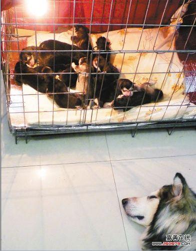 宠物狗生下18只崽 接生用18小时