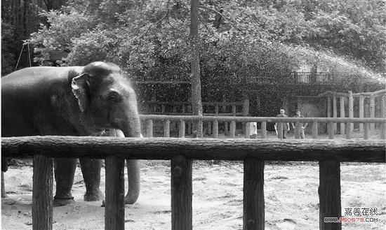 当时太阳当空,怕诺诺中暑,大家找来水泵抽水让诺诺回内室。 关心杭州动物园的市民,可能都知道动物园的镇园之宝亚洲公象诺诺。上周,它突然生病了。 诺诺上周四早上开始,不吃不喝,还不排便了!这可把杭州动物园的工作人员急坏了,诺诺是怎么了? 亚洲象是被列入《国际濒危物种贸易公约》的濒危物种。诺诺1982年入园,如今40岁的它正当壮年,身体健康,繁殖能力很强,还是不少其他动物园眼里的良婿。 一些杭州市民是看着它长大的,对它很有感情。它这一病,惊动了动物园上下。不过,经过积极治疗,诺诺的身体已经恢复。昨