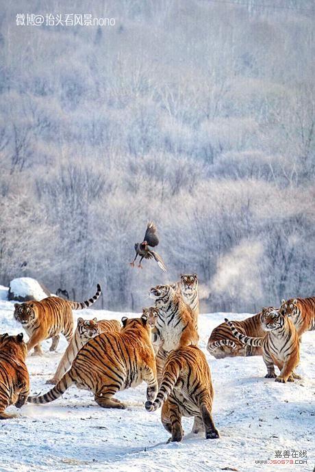 老虎风景竖屏图片