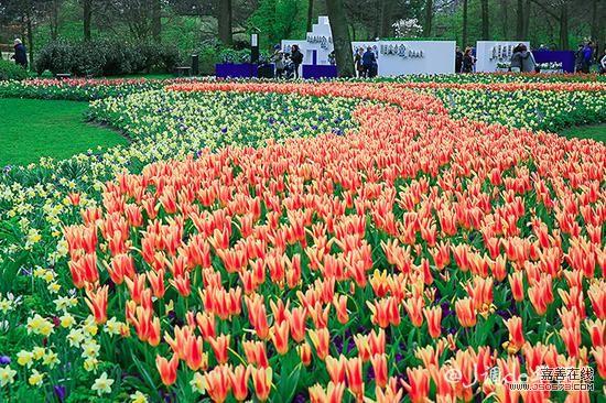 荷兰,世界上地势最低的国家,这里的方寸土地都是长年累月向大海争取得来的,也许因为来之不易,荷兰人对土地有很深沉、很执着的感情。    他们喜欢新开垦的田野上种满各种鲜花,春夏之际,这些花儿盛开成花海,将土地所赋予的生命力呈现到极致。在茫茫花海中,最迷人的便是那千娇百媚的荷兰郁金香。    荷兰种植郁金香的历史可以追溯到十六世纪,当时一位名叫克卢修斯的园艺学家在维也纳皇家花园当园丁,他千方百计地从出使土耳其的奥地利大使手中得到了亚洲原产郁金香,并将它们带到了荷兰。    这种花很快就遍及了荷兰各地,掀起