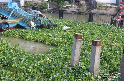 嘉善开展清理水葫芦行动