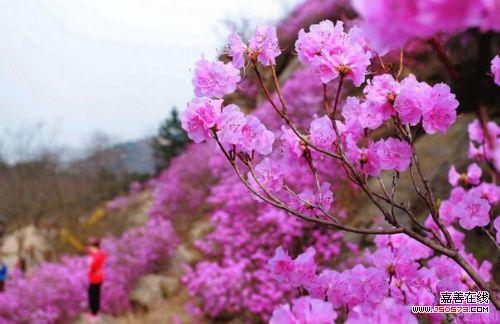 青岛杜鹃花盛开 山被染成紫色